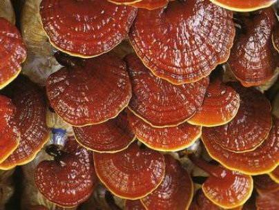 Что такое Ганодерма или гриб Рейши