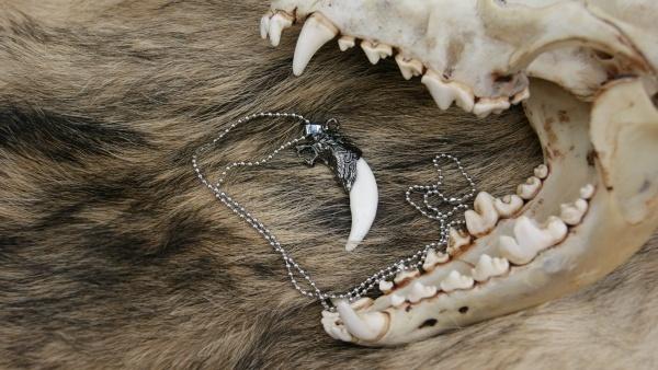 Как выглядит клык волка