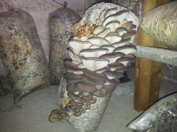 Обзор на домашнюю грибницу с вешенками